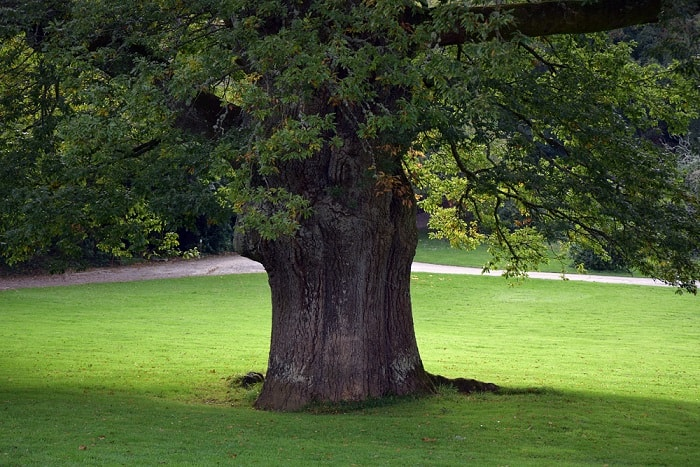 picture of the Big Tree